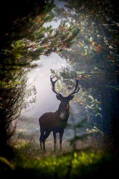 Red Deer (Cervus elaphus) by Dan Ravnborg Nature Animals, Animals And Pets, Cute Animals, Wild Animals, Wildlife Nature, Wild Life, Wildlife Photography, Animal Photography, Beautiful Creatures