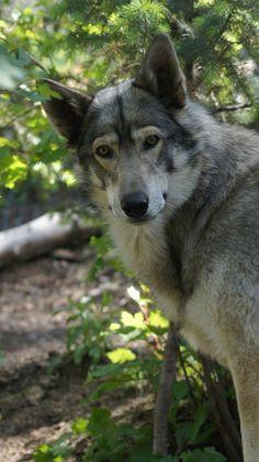 Gray Wolf--Wolf Sanctuary Photo