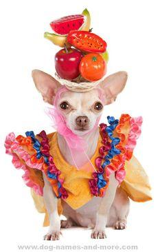 Colorful Chihuahua