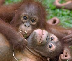 IAR cares for a growing number of orangutans at it's emergency rescue centre in West Kalimantan, Borneo. The centre is reaching full capacity and IAR is working hard to build a permanent centre to enable them to rescue many more orangutans, who are rapidly losing their homes to the growing spread of palm oil plantations.
