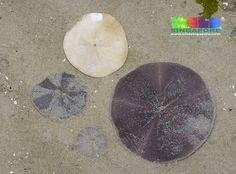 Cake sand dollars (Arachnoides placenta) | More about this s… | Flickr - Photo Sharing!