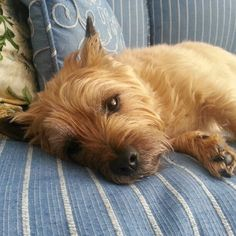 Cairn Terrier - Rare lazy Sunday! :)
