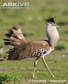 Africa's Kori Bustard (35 photos & 5 videos.) Video of carmine bee-eaters using bustards as taxi-service is fun.