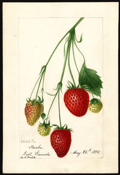 Strawberry Illustration by Deborah Griscom Passmore Image and text courtesy U. Department of Agriculture Pomological Watercolor Collection. Rare and Special Collections, National Agricultural Library, Beltsville, MD 20705 Vintage Botanical Prints, Botanical Drawings, Botanical Art, Strawberry Pictures, Apple Illustration, Strawberry Plants, Strawberry Art, Strawberry Garden, All Nature