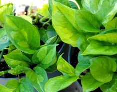 Society Islands, Pothos Plant, Summer Plants, Houseplants, Indoor Plants, Planting Flowers, Lawn, Plant Leaves, Garden