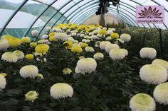 crisantemi recisi serra di produzione