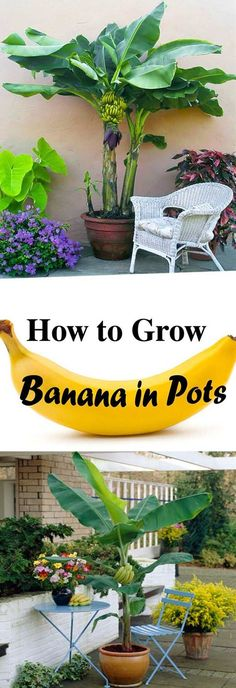 Grow Banana In Pots