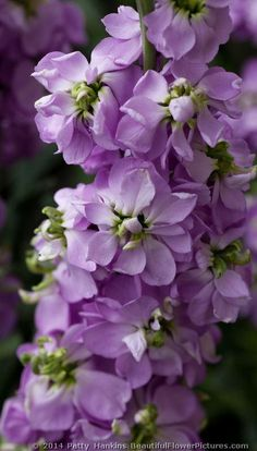 Matthiola Incana CV Flowering Stock | Katz Lavender White Stock © 2014 Patty Hankins