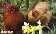 Chicken Friendly Plants - plants your chickens won& eat in the garden. Plants For Chickens, Keeping Chickens, Raising Chickens, Backyard Coop, Chickens Backyard, Backyard Farming, Backyard Retreat, Portable Chicken Coop, Diy Chicken Coop
