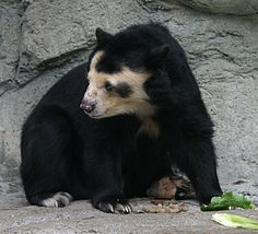 Spectacled Bear | Description Spectacled Bear - Houston Zoo.jpg