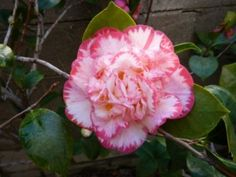 Triangle Camellia Society Show - March 9th, 2013