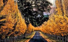 """""""Some beautiful paths can't be discovered without getting lost.  Erol Ozan // Thanks for the tag #Winetourist @terrycotter with @repostapp @winetouristmag (link in profile) #traveltuesday  Far Niente Winery tree lined lane. #ournapa #farniente #fallleaves #napa #napavalley #winery #winecountry #winetouristmag #winecountrystyle #winecountryliving #hdr #hdr_pics #hdrtrees #hdr_lovers #hdr_oftheworld #hdrphotography #hdr_photogram #hdroftheday #hdr_captures #ginkotree #exquisite_shots…"""