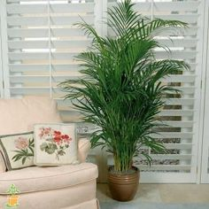 Colorful, Easy-to-Grow Moth Orchid Varieties Palm Trees For Sale, Indoor Palm Trees, Indoor Tropical Plants, Indoor Palms, Palm Plants, Outdoor Plants, Indoor Trees Low Light, Indoor Outdoor, Majesty Palm