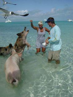 Swimming Pigs - Exumas Islands - The Bahamas  www.selectyachts.net I want to do this! Exuma Bahamas, Bahamas Vacation, Vacation Trips, Vacation Spots, Vacations, Pig Island Bahamas, Places To Travel, Places To Go, Pig Beach