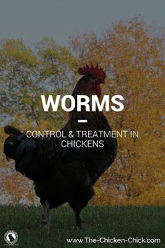 Identify worms in your backyard chickens and learn if, how and when to treat them. A difficult questions for the average chicken keeper to answer. To a large...
