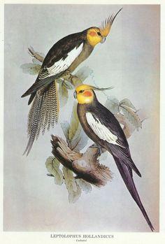 Cockatiel Wall Art Bird Scientific illustration by ImpalaPrints