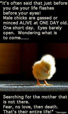 This is due to egg production. Please go VEGAN:)
