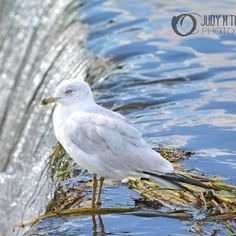 """""""On the Edge"""" by Judy M Tomlinson Photography #londonontariophotographer #printsforsale #gull#falls #water"""