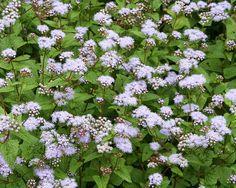 Eupatorium coelestinum, Mistflower by Tie Guy II, via Flickr Greg's blue