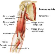 Looking for online definition of coracobrachialis in the Medical Dictionary? What is coracobrachialis? Meaning of coracobrachialis medical term. What does coracobrachialis mean? Arm Muscle Anatomy, Arm Anatomy, Human Anatomy Chart, Physical Therapy School, Human Body Organs, Medical Dictionary, Arm Muscles, Medical Information, Anatomy And Physiology