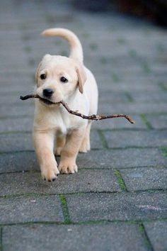 A puppy walking down the street with a stick in its mouth.