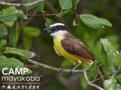 This beautiful Great Kiskadee was perched high above us in a tree searching for its dinner  as we cruised silently past! These agile fliers are known for their loud & aggressive calls. #birdwatching #birding #nature #beautiful #mayakoba