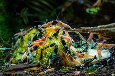 Taiwan Bee Shrimps