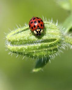 Ladybug macro photo.