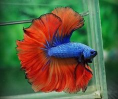 Awesome colors! Awesome fins! Hawk Red Dragon betta OHM
