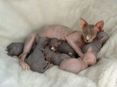 Sphynx kittens. Love these cats! Good mommy