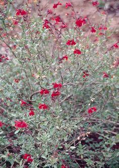 Flame Texas Sage for sale buy Salvia greggii 'Flame'