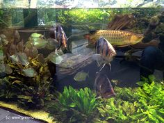 A 18ft outdoor planted tank with arowanas, tiger fishes, silver dollars, clown loaches, grown full with cryptocorynes. Maintained by us Owner Home Owner Tank Size 18 x 6ft Volume 18000L