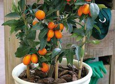 El kumquat o naranjo chino