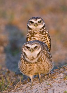 Burrowing Owl pair, Cape Coral, Florida