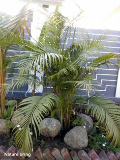 How to Grow Indoor Palm Tree   Potting, Growing and caring Palm Tree Palm House Plants, Potted Palm Trees, Indoor Palm Trees, Potted Palms, Indoor Palms, Palm Tree Plant, Palm Tree Care, Growing Zucchini, Kentia Palm