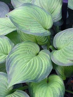 Hosta Guacamole   (Full Shade)                                         Fragrant white flowers over avocado-green leaves