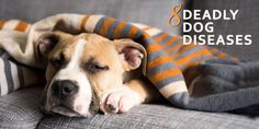 Deadly #Dog #Diseases http://www.dogexpress.in/8-most-common-deadly-dog-diseases