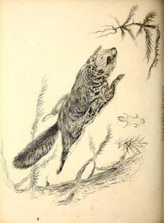 Pteromys alpinus. Fauna boreali-americana, or, The zoology of the northern parts of British Americap t.1 London :John Murray,1829-1837. Biodiversitylibrary. Biodivlibrary. BHL. Biodiversity Heritage Library