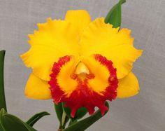 Rhyncattleanthe (Yellow Boy x Free Spirit) Z-20677 | by Orchids by Hausermann