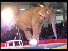 Shrine Circuses: Fundraisers That Are No Fun for Animals | PETA Help get animals out of the act. Ask the Sesostris Shrine, which recently featured the bear who urinated out of stress during a performance, not to feature animals in its circus again.