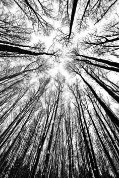Beautiful black and white poster of tree tops from a worm's eye point of view. Black And White Picture Wall, Black And White Tree, Black And White Landscape, Black And White Posters, Black And White Wallpaper, Black And White Pictures, White Art, White Trees, Black And White Background