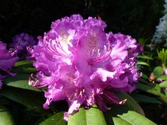 rododendron paars