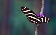 обои бабочка, крылья, полет, полосы
