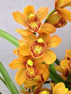 Orchid: Cymbidium Enzan Forest 'Majolica' (Kusuda Shining x Yamba) - Fli. Exotic Flowers, Tropical Flowers, Amazing Flowers, Beautiful Flowers, Orquideas Cymbidium, Orchid Color, Orange Orchid, Orchid Plants, Orchid Flowers