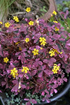 62 best purple oxalis images on pinterest plants purple shamrock true black splotches on variegated purple hearts make this a gothic stunner despite the sunny yellow and unbelievably persistent flowers mightylinksfo