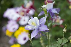 Columbine :Top 10 Flowers to Attract Hummingbirds