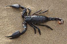 Skorpion, Wüste, Sand