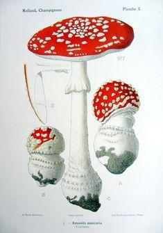 Antique poisonous fungus Amanita muscaria lithograph, 1910 original vintage color mushroom print, mycology toadstool botany engraving.