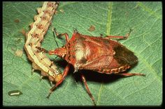 Natural Insect Control, NIC specializes in Organic Canadian Beneficial Nematodes, grub control, Beneficial Insects, good bugs to control bad bugs. Garden Insects, Bugs And Insects, Garden Pests, Stink Bugs, Permaculture Design, Beneficial Insects, Garden Guide, Make It Yourself, How To Make