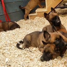 svalinn_private's photo on Instagram Berger Malinois, Belgian Malinois Puppies, Belgian Shepherd, Shepherd Dog, Little Puppies, Dogs And Puppies, Belgium Malinois, Dog Emoji, Dog Comics